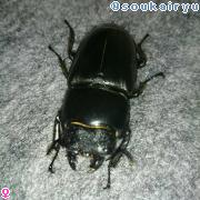 パラワンオオヒラタクワガタ ♀