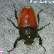 カブトムシ ♀